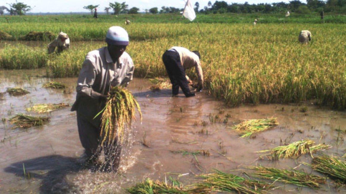 People harvest rice in Namatala Wetland in Budaka District. (Credit: Daily Monitor))